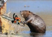 285759__beaver-with-chainsaw_p
